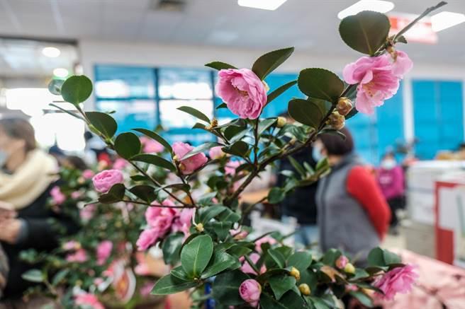 寶山茶花產銷班班長江能民說,台灣原生種或茶梅系列茶花比較好重如八重梅。(羅浚濱攝)