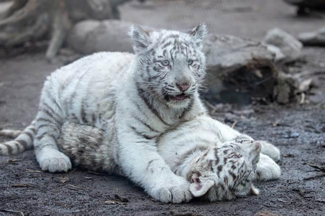 調皮小白虎把媽媽的尾巴當成逗貓棒咬,虎媽嚇得趕緊回頭查看,眼神中不只有驚恐還有無奈。(示意圖/達志影像)