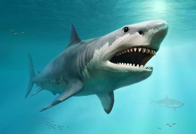 最新的研究指出,巨齒鯊會在子宮內吃掉其他尚未孵化的兄弟姐妹來「補充營養」,讓牠們一出生就成為2公尺巨嬰。(示意圖/達志影像)