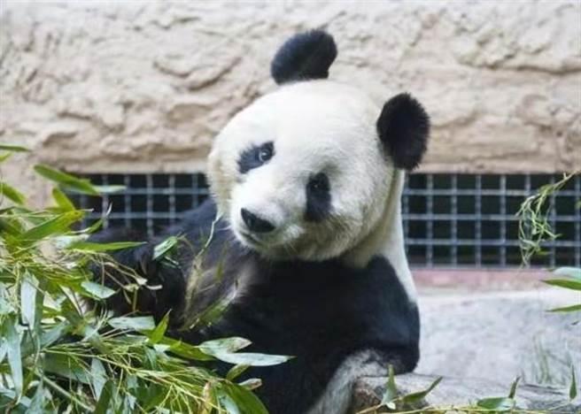 大熊貓「吉妮」因年老腎衰引起腹水,導致心臟衰竭,上周四(7日)晚上10時35分去世。
