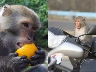 獼猴之亂2》中山大學長年飽受猴亂 入校必先學如何應付山大王