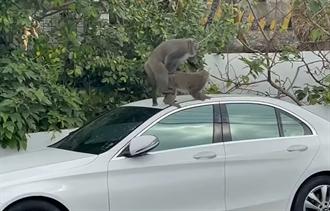 獼猴之亂1》柴山獼猴爬上白賓士 忘情交配民眾看傻