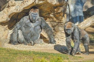 全球首例 美動物園大猩猩染疫