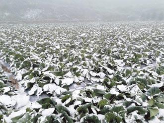 山區蔬菜凍傷 700隻鵝集體死亡
