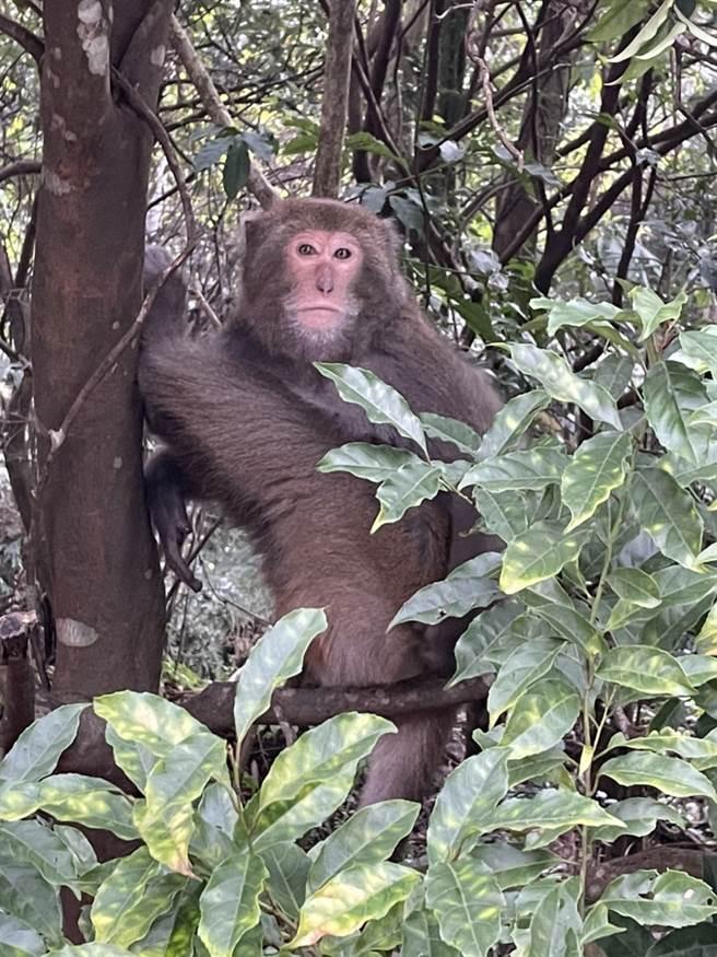 全台野生獼猴肆虐危害農作物,讓農民咬牙切齒,圖為陽明山上的野生獼猴。(讀者謝先生提供)