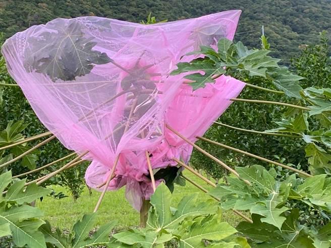 台東長濱鄉蘇姓農民用蚊帳罩住木瓜,不過仍會被猴群破壞。(蘇姓農民提供)