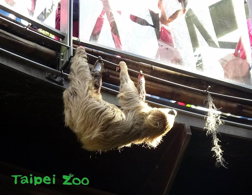 樹獺經常會跑到欄杆上,給人一種「遠在天邊,近在眼前」的感覺,不過近日牠爬到靠近遊客的護欄上,讓人擔心再次上演逃家記,不過其實熱帶雨林區都屬於牠的活動範圍,因此不用擔心。(圖/臺北市立動物園 提供)