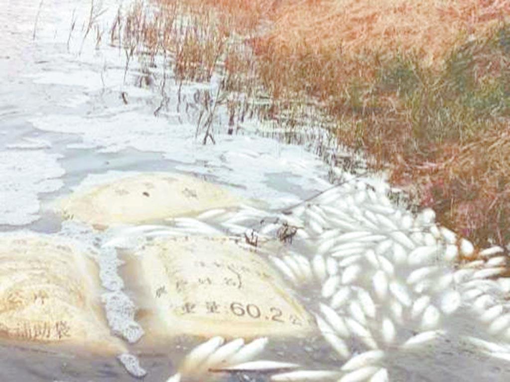 專養虱目魚戶黃健翔苦訴,這些越冬魚本來等春節後可賣好價錢,如今死一半,13日還在撈死魚。(黃健翔提供/張毓翎嘉義傳真)