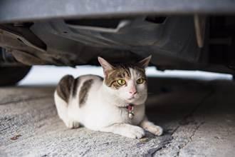 流浪孕貓被撞早產 堅持待車底守寶寶屍 獸醫一舉動牠落淚
