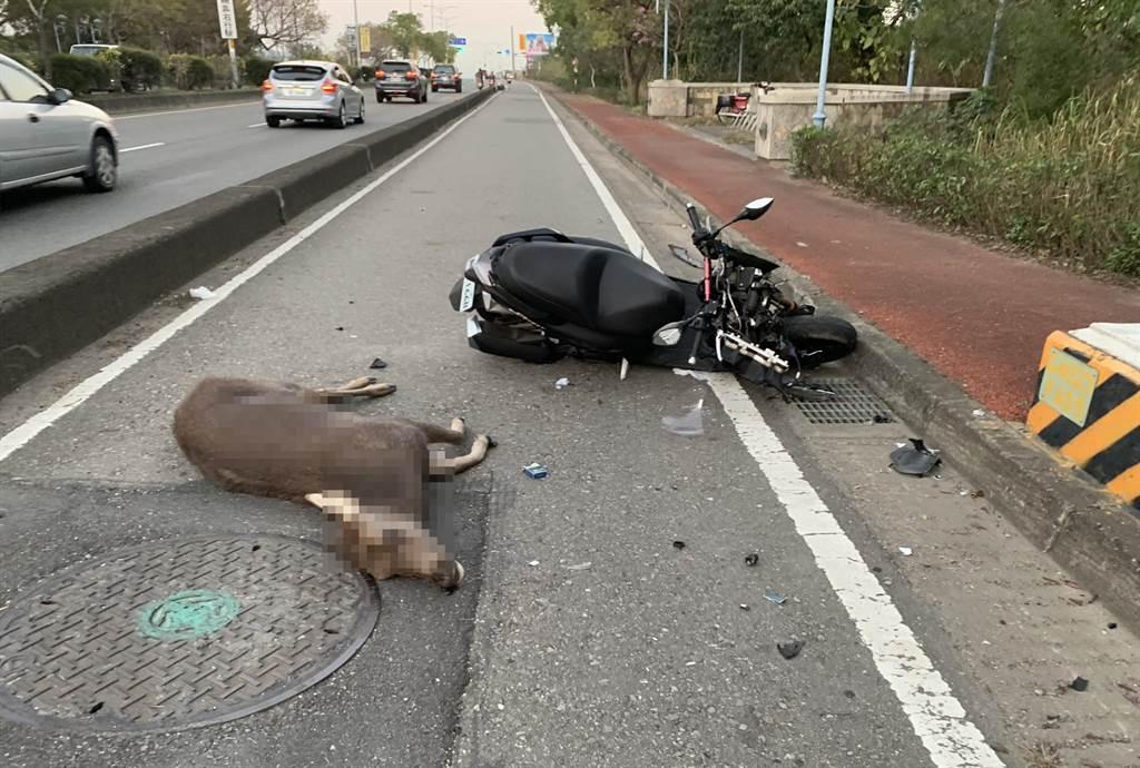 彰化東外環,44歲張姓汽車駕駛先撞到一頭水鹿,40歲黃姓女駕駛復撞擊二次,22歲王姓機車騎士再三次撞擊 ,水鹿死亡,騎士受傷送醫。(彰化警分局提供/吳敏菁彰化傳真)