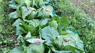 整排大白菜被石頭壓 老菜農曝真實用意:太有智慧