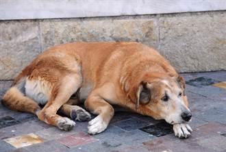 流浪狗頻鑽牆角縫隙引誘人靠近 志工好奇挖洞驚見7幼犬