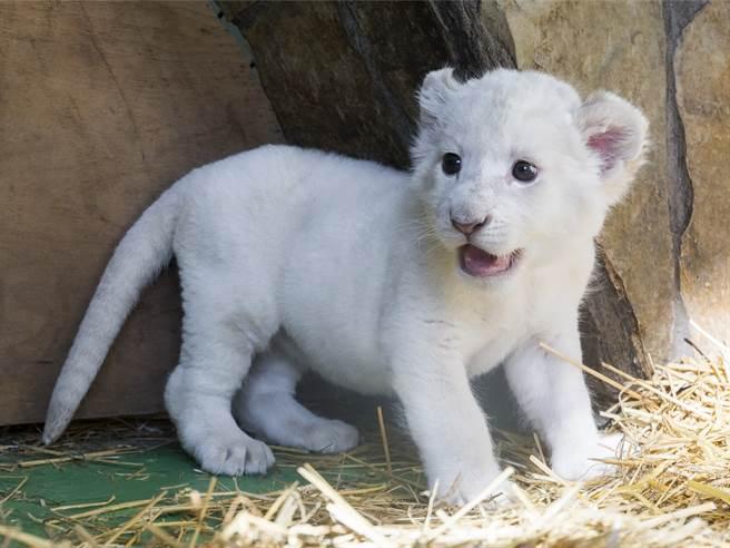 罕見白獅幼崽被盯上 母獅護子秒變臉 大戰流浪公獅