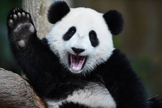 生到沒墨了?全球唯一白色大貓熊現蹤 呆坐樹旁思考熊生