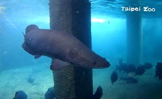 水中巨魚瞬間甩尾秒斷人骨 動物園保育員入池超驚險