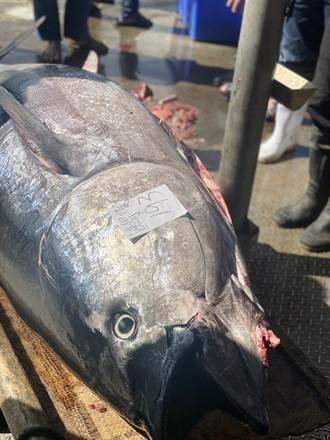 全台第一條鮪魚 在台東新港上岸