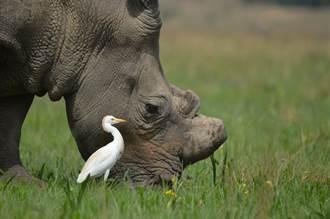 犀牛憋不住小便大噴發 超衰白鷺站身後慘淋浴