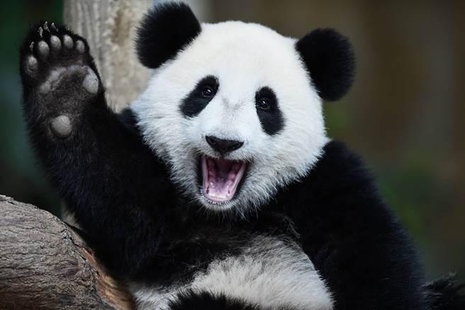 生到沒墨了?全球唯一白色大貓熊現蹤 呆坐樹旁思考熊生萌翻
