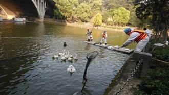 中正大學天鵝染H5N5禽流感 需全面撲殺
