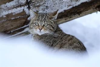 雪地拯救凍僵小奶貓 獸醫一檢查驚覺身分不簡單