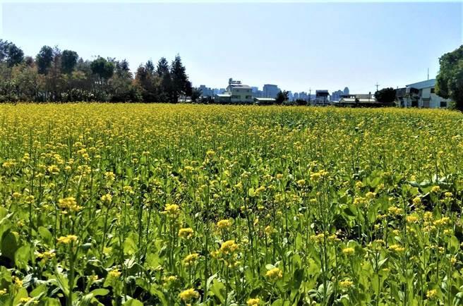 波斯菊花田、油菜花田壯闊花海,是台中市區中難得的花海美景。(盧金足攝)