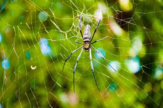 澳洲一名農夫直擊到一隻巨蛛獵殺小蜘蛛的瞬間畫面,不少網友看了都相當害怕。(示意圖/達志影像)