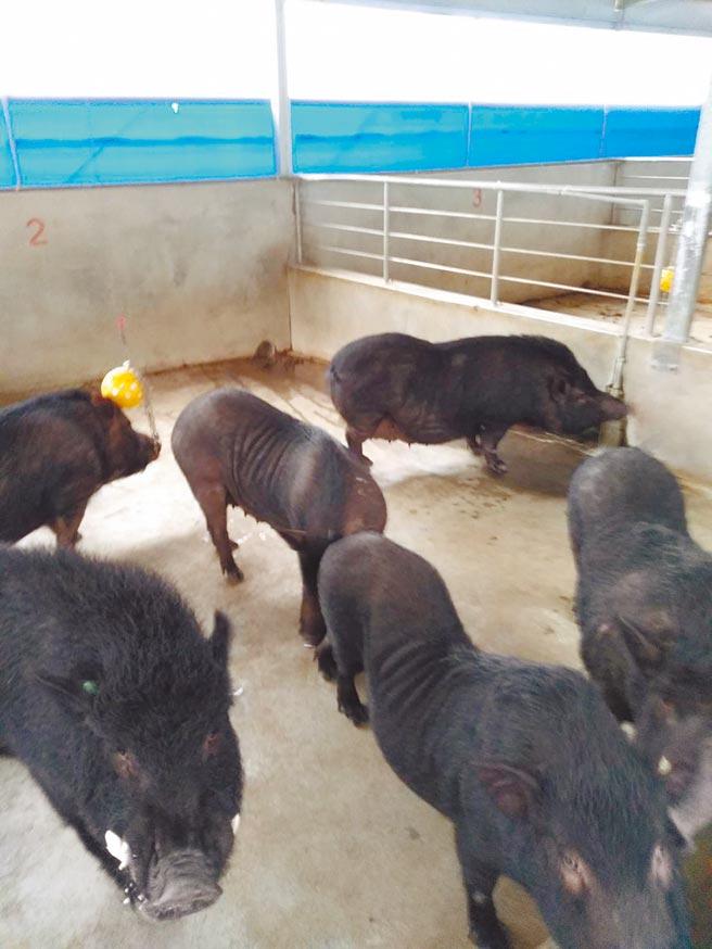 蘭嶼豬雜交嚴重,失去原有樣貌,農委會畜產試驗所15日將40年前從當地帶到台東繁殖純種的10頭公豬、18頭母豬送回蘭嶼。(蘭嶼朗島村長施拉橫提供/蔡旻妤台東傳真)