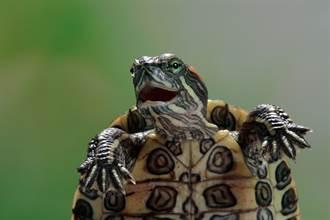 被主人相機嚇到魂飛魄散 烏龜驚恐吶喊臉笑翻80萬人