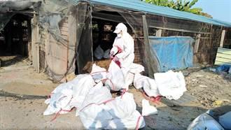 九如鄉一處土雞場確診禽流感 撲殺7543隻土雞