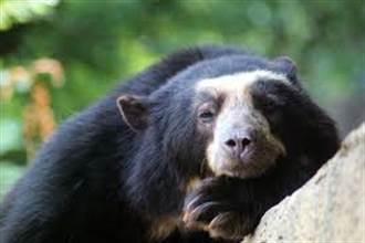 疫情阻卻人類觀光客 瀕危眼鏡熊印加古城逛大街