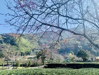 全國最早 玉山下草坪頭櫻花季23日登場