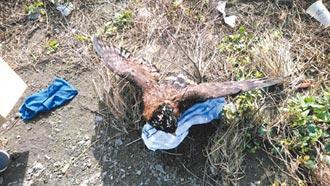 濁水溪發現骨折大冠鷲 搶救不治