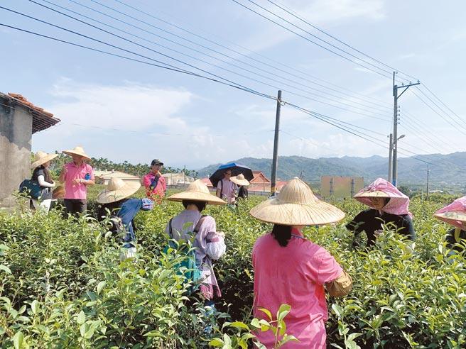 竹山茶鄉設有茶葉產銷特區及茶文化館,遊客可以盡情體驗採茶樂趣。(南投縣文化局提供/廖志晃南投傳真)