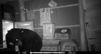 畫面曝光!野放大黑熊夜闖農地偷雞 自己開冰箱找吃的