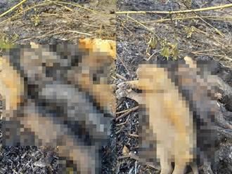 屏东9幼犬躺一排遭活活烧死 尸体呈碳化民眾目睹心碎