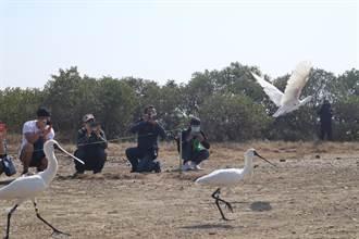 台南黑琵普查破紀錄 今野放3隻受傷野鳥