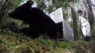 廣原小黑熊Mulas天氣冷 樂當「宅熊」