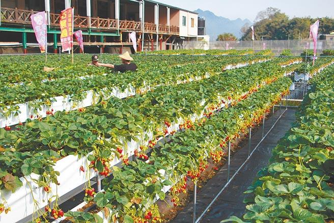 苗栗縣大湖有「草莓王國」美名,栽培出的草莓碩大飽滿、品質優良,開放採果體驗廣受親子歡迎。(何冠嫻攝)