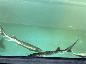 本業難賺 淡海輕軌多樣經營還養鱘龍魚