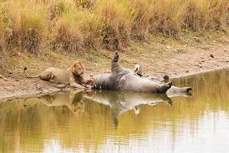 河馬慘遭爭食 下秒屍體竟狂放連環響屁嚇跑5獅猛鱷