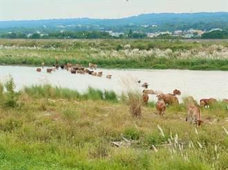 中彰也看得到非洲大草原景觀 貓羅溪牛群渡河壯闊生態秘境恐絕響