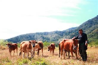 大梅部落休耕長達50年 他養黃牛解荒刺激生產