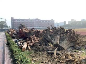 砍10多棵老樹惹議 南臺科大:安全考量 樹染病竄根嚴重