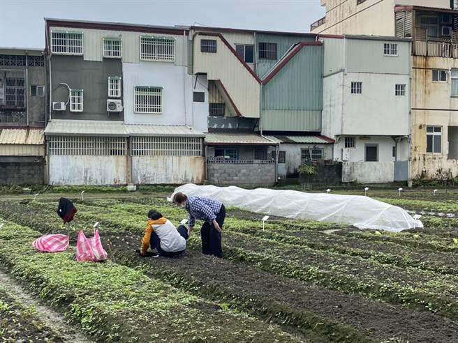 「北昌快樂農園」提供100個種植區供民眾認養,當作自己的開心農場,隨時可見民眾快樂種植、樂活參與的身影。(羅亦晽攝)