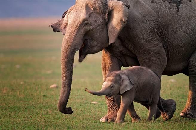 象媽媽待在路邊求助,而牠成功被救出後,帶領救援人員找到牠的孩子,才發現小象竟被困在洞裡。(示意圖/達志影像)