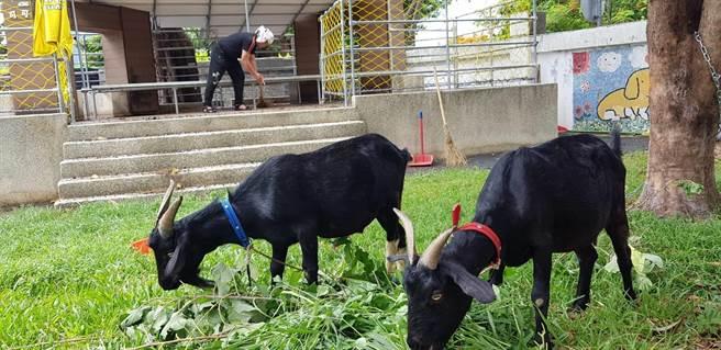 淡水文化國小校園飼養兩隻年齡1歲半黑色山羊,公的叫可可豆,母的叫巧克力(文化國小提供/戴上容新北傳真)