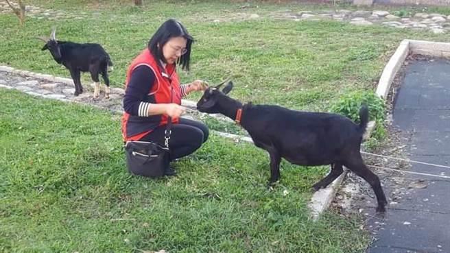 淡水文化國小羊媽媽快生了,肚子孕育新生命。(文化國小提供/戴上容新北傳真)