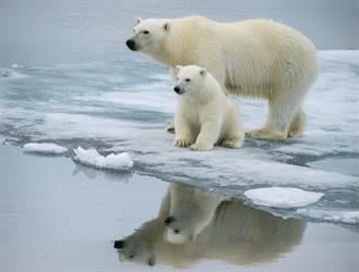北極熊幼崽冬眠完出窩秒玩翻 厭世媽仰頭大睡放生寶寶