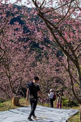 好天氣賞花趁現在 三峽大熊櫻花林已開8成
