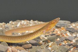 新種龍口蛇鰻 現蹤屏東港口溪